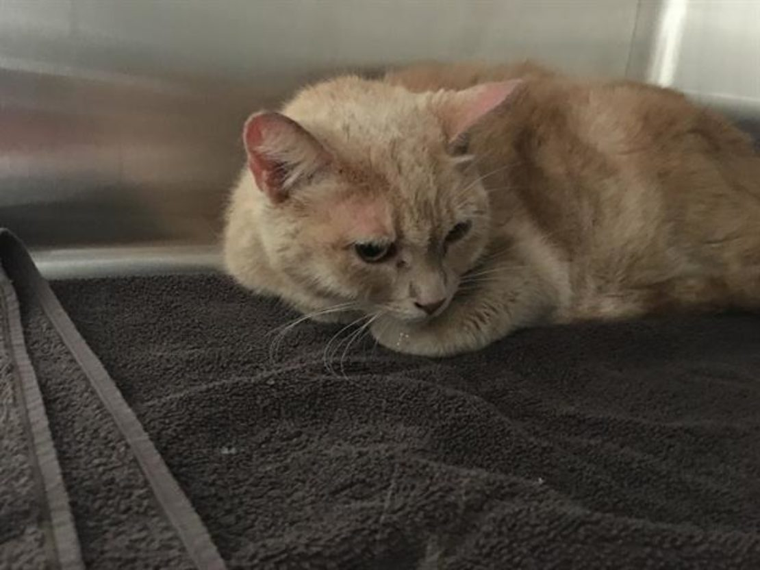 scruffy, frightened orange cat on table in shelter