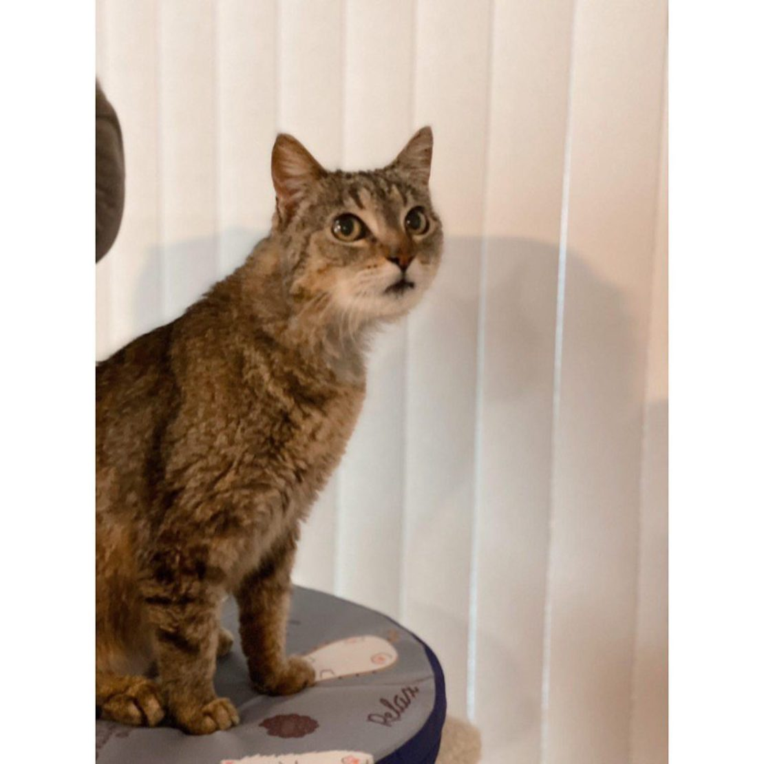 brown tabby with tan muzzle stares into the distance, seated in front of white verticle blinds.