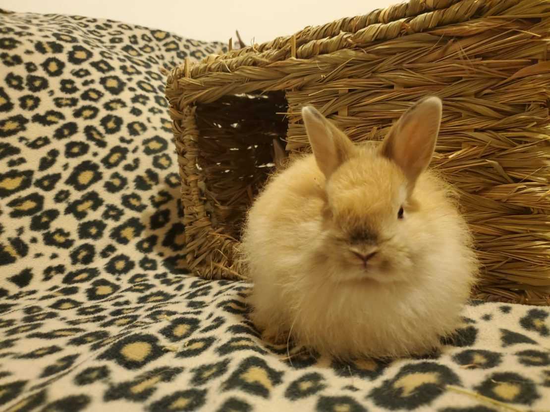 LIttle tan-and-white bunny on leopard rug with a grass hutch in background.