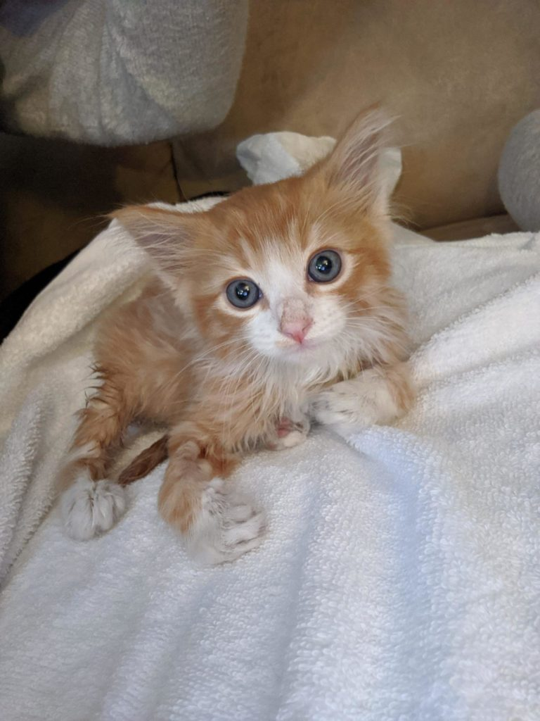 tiny orange tiger cat with white muzzle and chest and pink nose lies on white blanket and looks at camera.