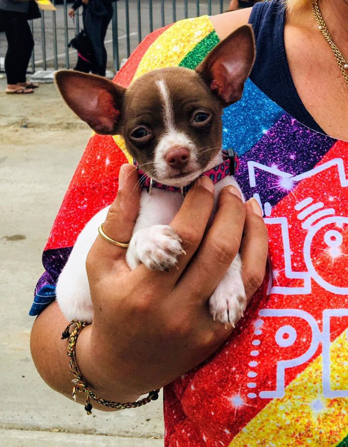 Chihuahua with brown ears and mask and white muzzle and body held by human in Pride shirt.