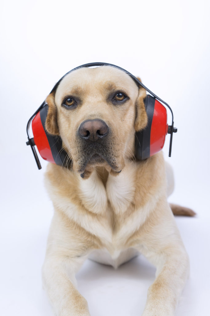 Yellow lab lying down and wearing red headphones