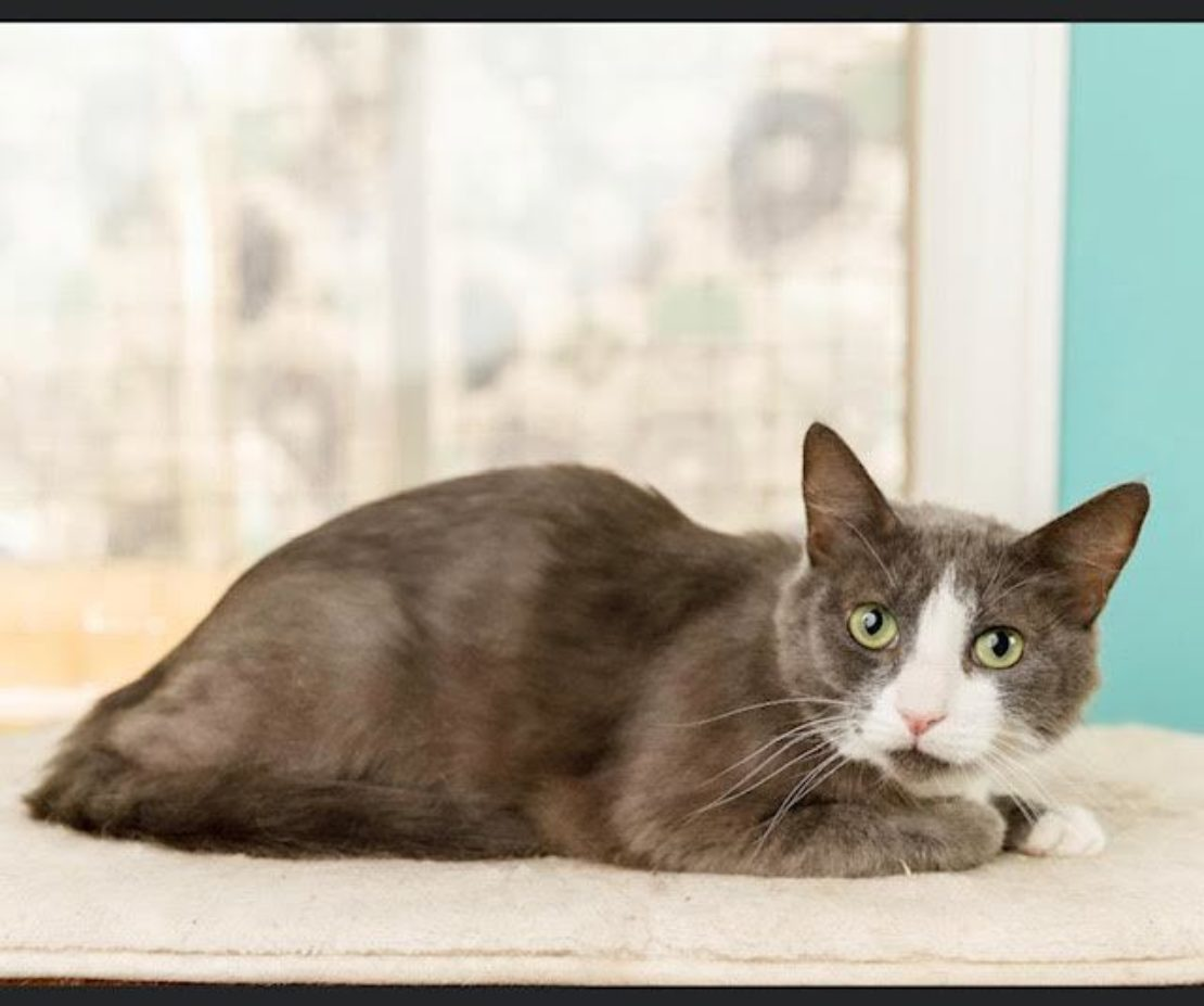 Dark gray cat with a white mask looks intently at camera. She sits on a beige carpet with curtains behind.