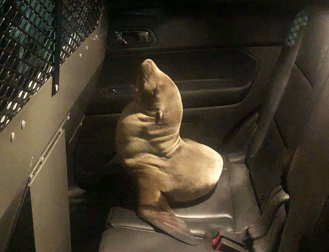 brown sea lion sits in the back of a car