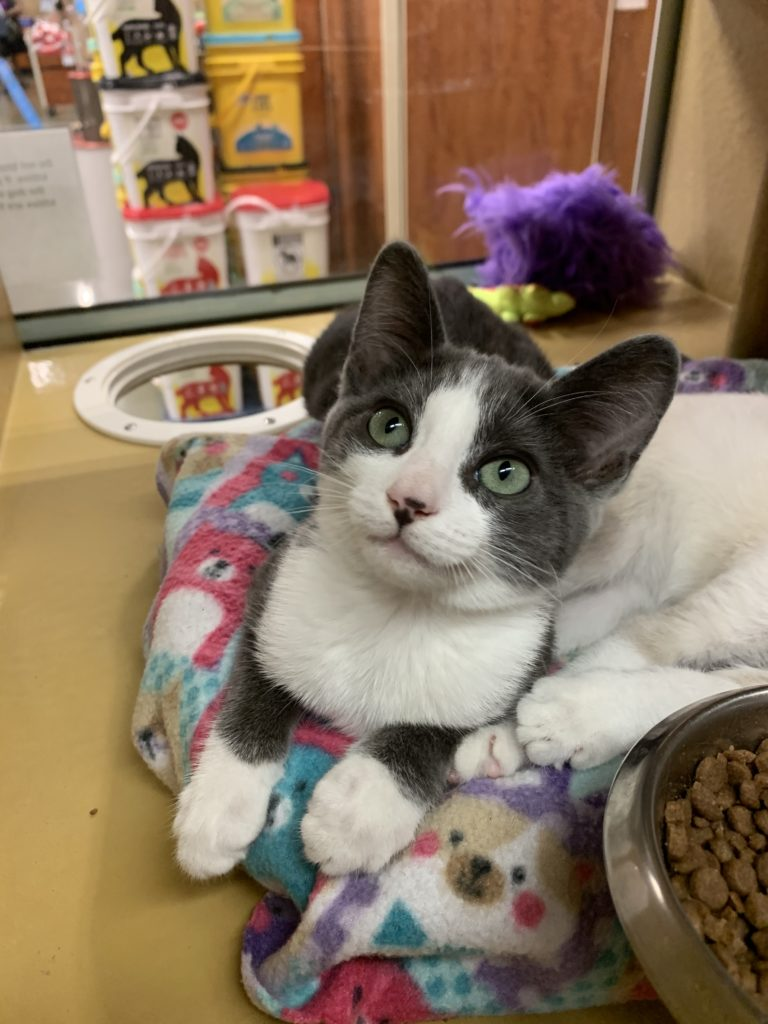 Kitten with speckled nose, gray ears and eye mask, white muzzle and chest, and white paws sits up on a colorful bed with cat supplies in background, looking at camera.