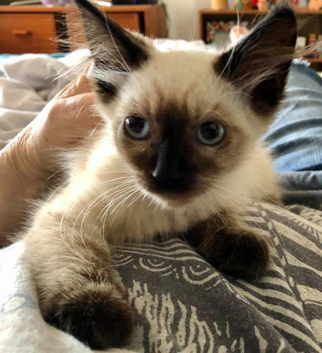 Sealpoint Siamese kitten looks to the left and relaxes on a duvet.
