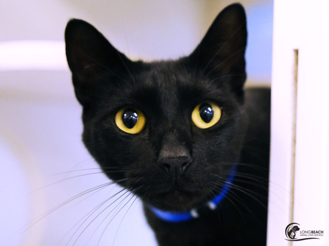 face of black cat with bright-yellow eyes and wearing blue collar stares into calendar