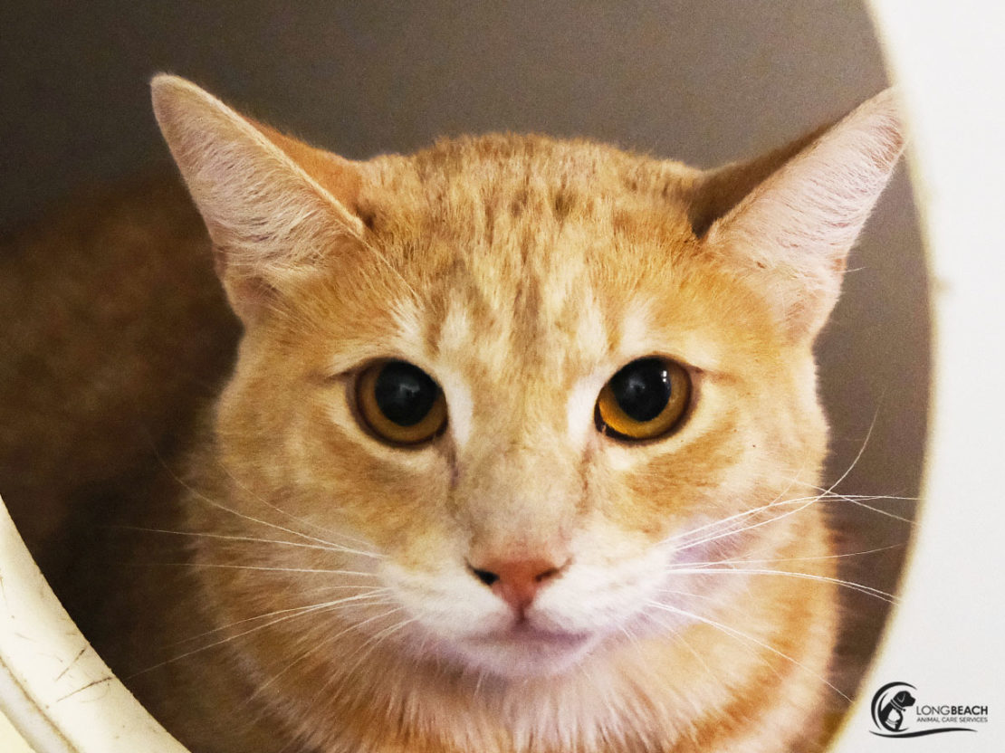 orange cat face with golden eyes and widely set ears, and milk muzzle looks into camera.