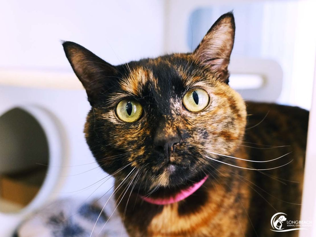 Tortoiseshell cat with pink collar stares into camera