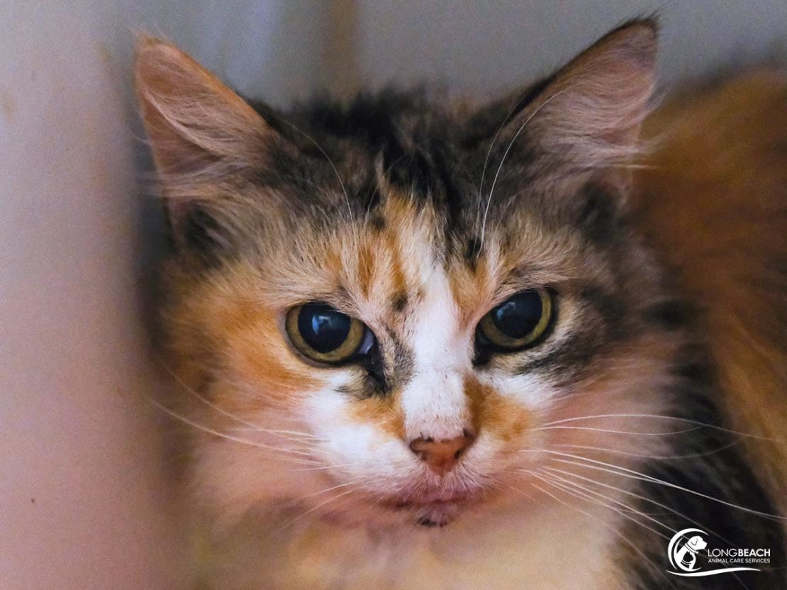 little wide-eyed calico-patch with white nose and chest looks into camera