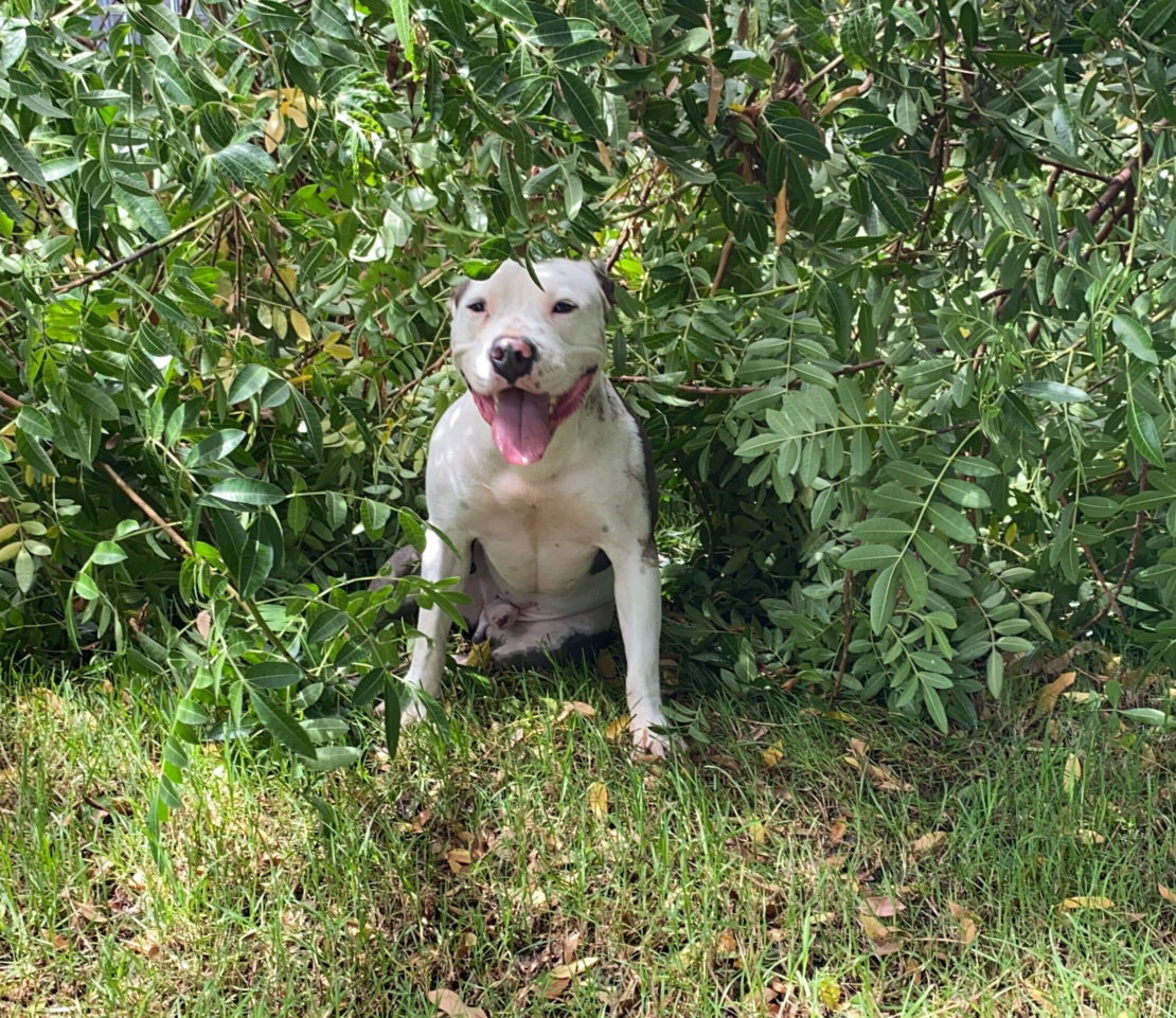 white pit-bull sits in the midst of very green bushes, on the grass