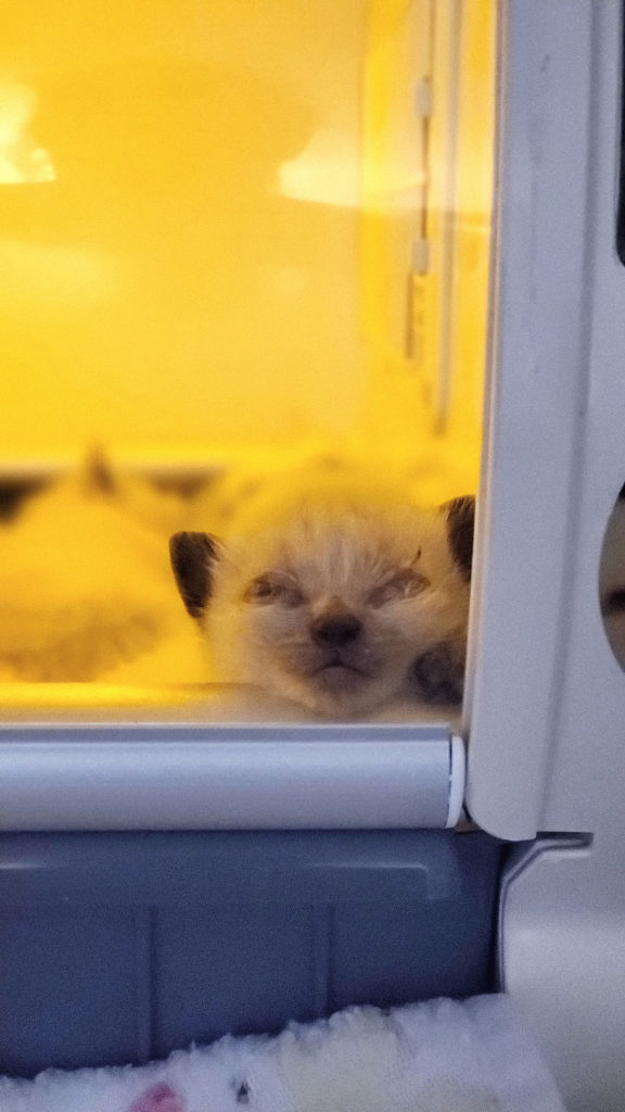 tiny kitten's white face with brown ears stares out the yellow-lit window of an incubator.