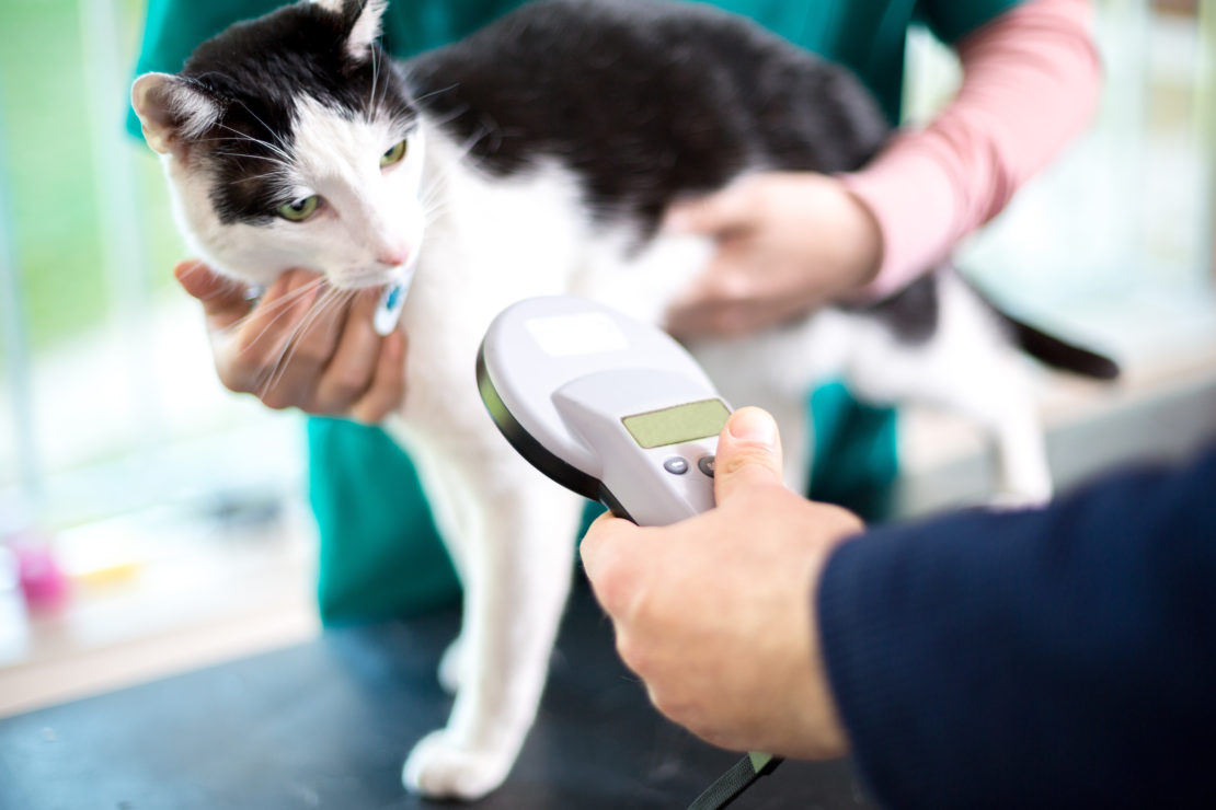a handheld scanner is ready to detect microchip information on a cat with a black saddle and mask on a white body.