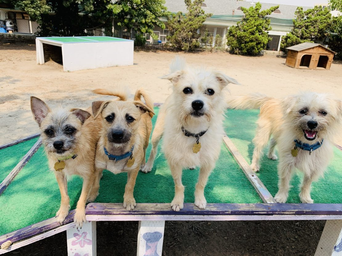 four small whitish dogs stare into the cameral. They stand on a green surface.