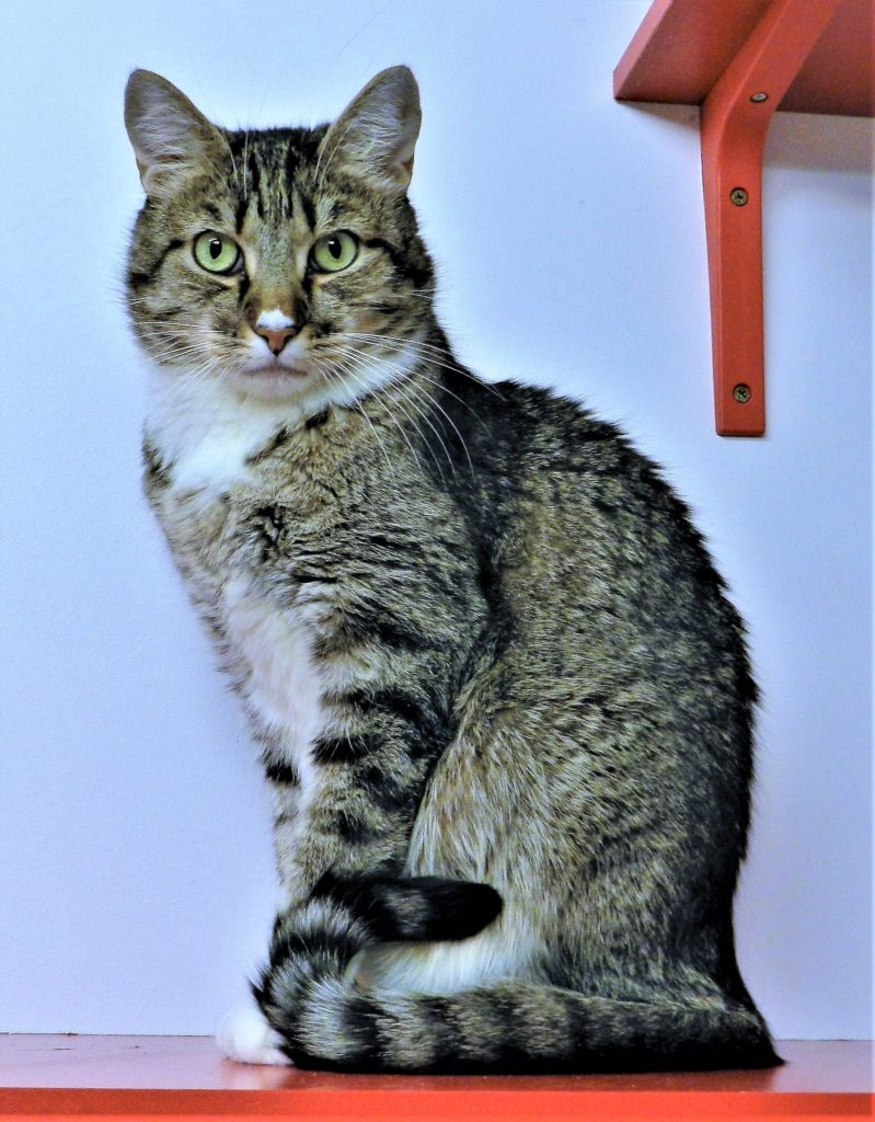 brown tabby with white bib sits in bowling-pin position and looks intently into camera.