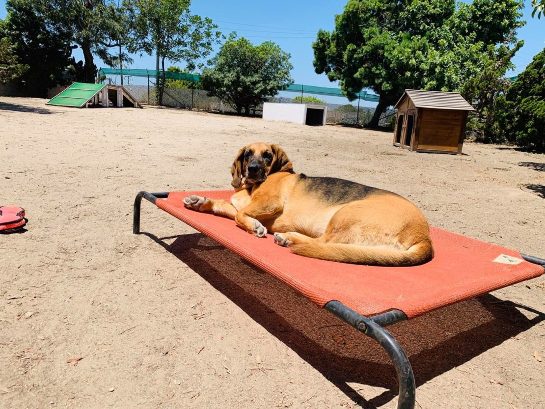 large black-and-tan hound mix relaxes on a cot in a sandy area.