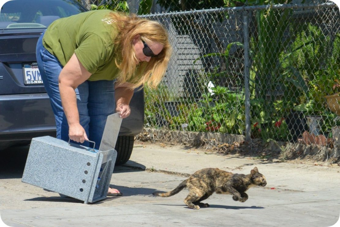 woman with long blond hair and wearing sunglasses and green T-shirt and jeans releases tortoiseshell cat from a trap. The cat wastes no time running.