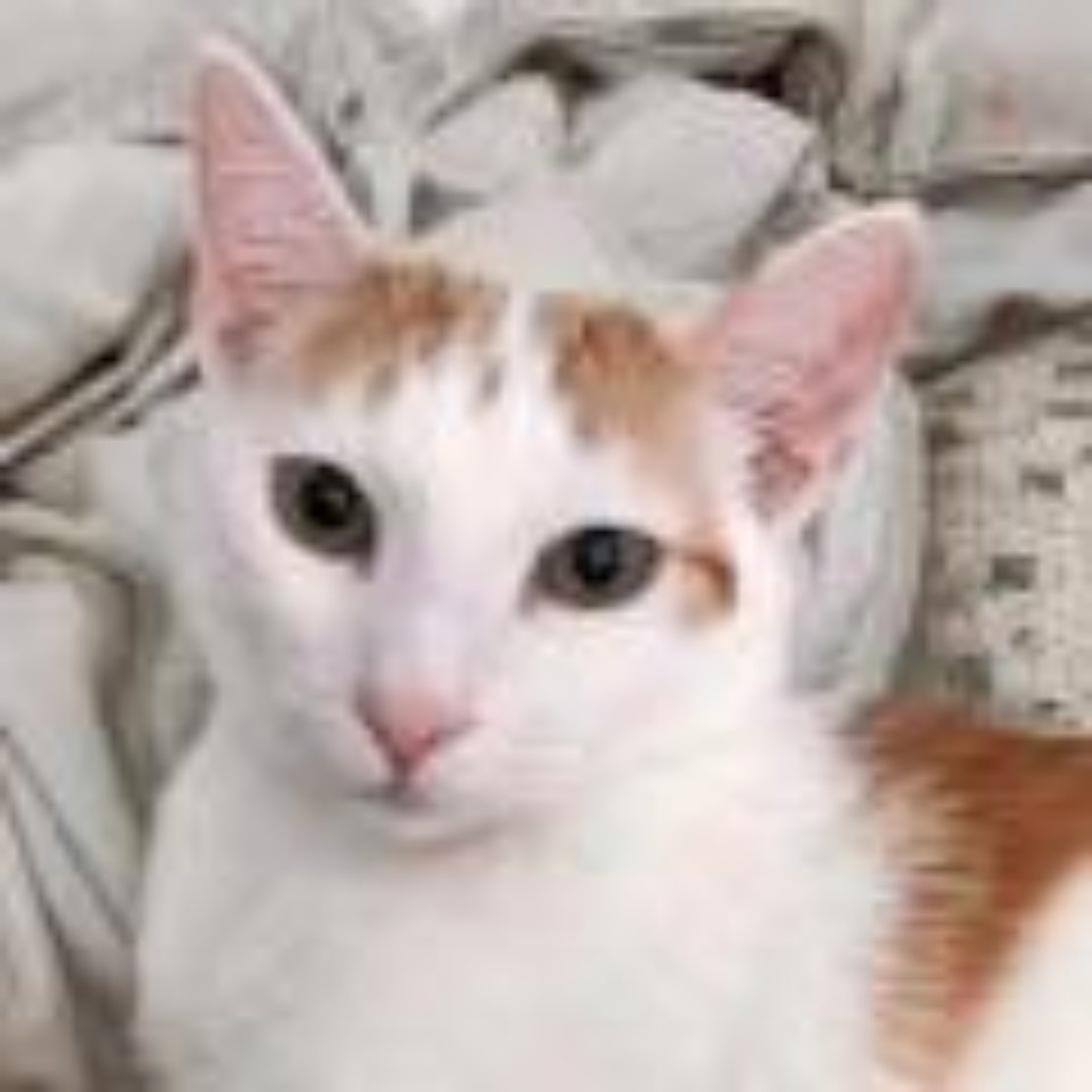 white cat with orange points sits on blanket