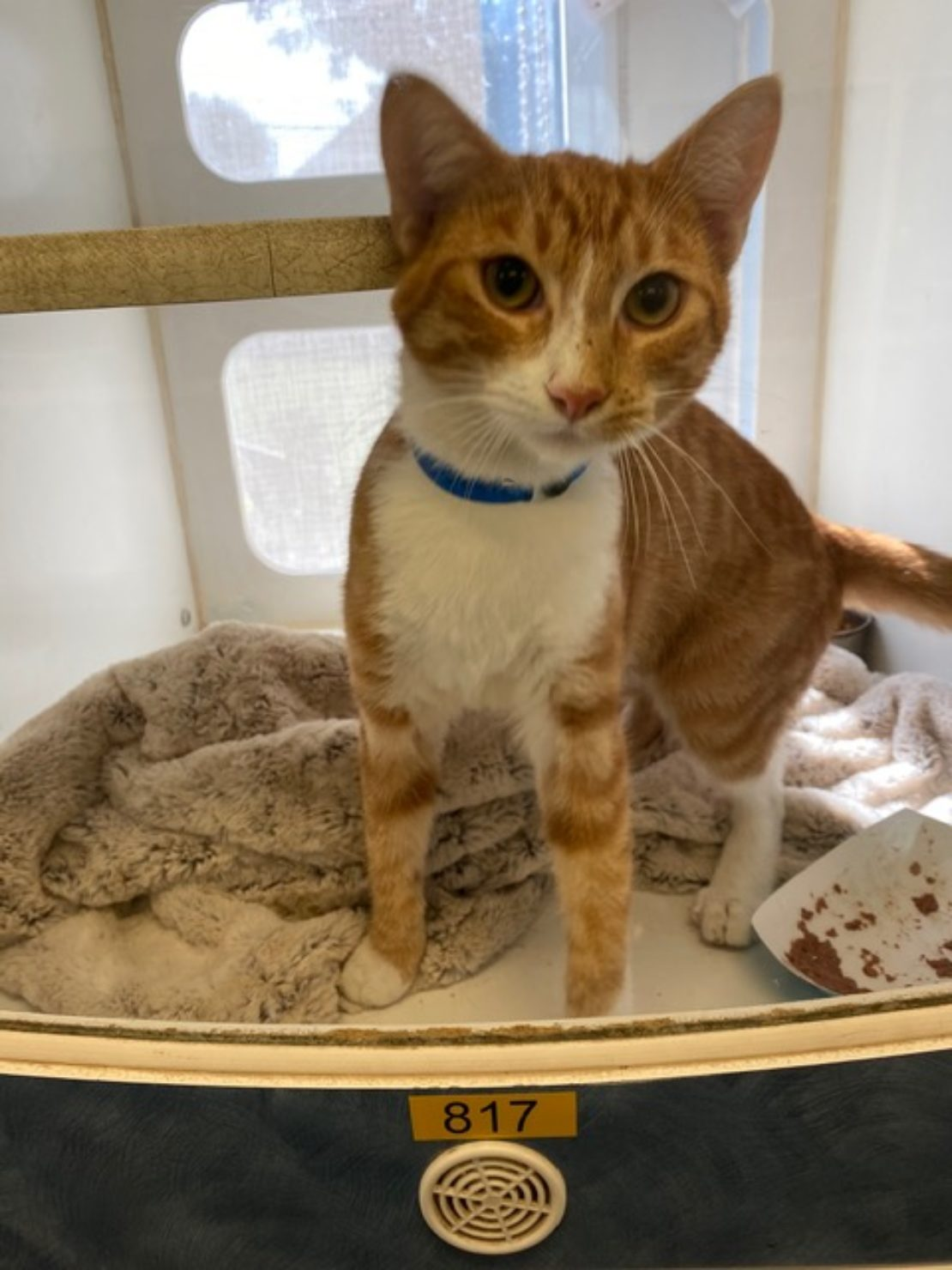 orange cat with white bib sits in kennel with blanket