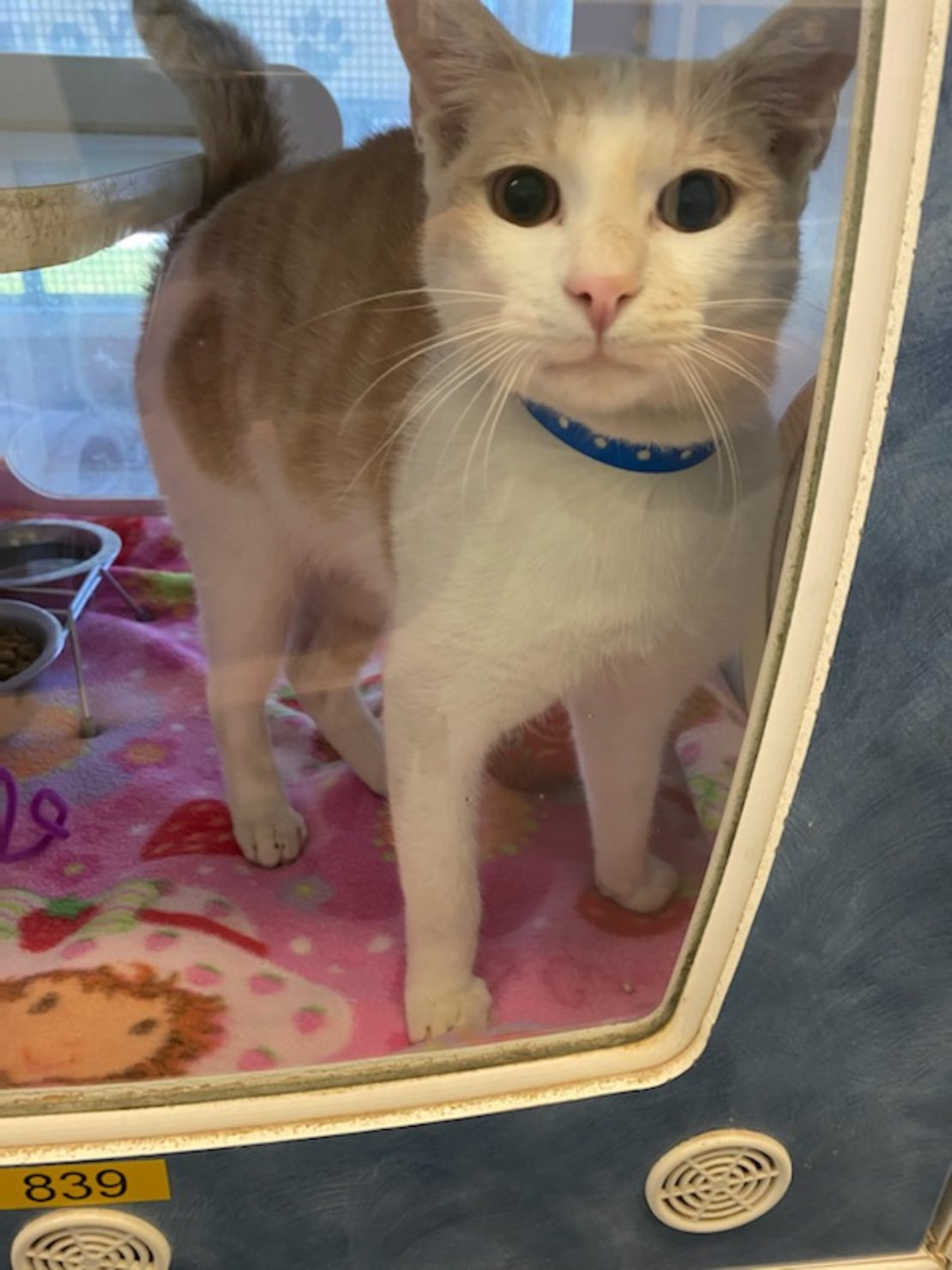 cat with orange mask and saddle, white chest and legs, and blue collar looks out a kennel with a pink blanket on the bottom.