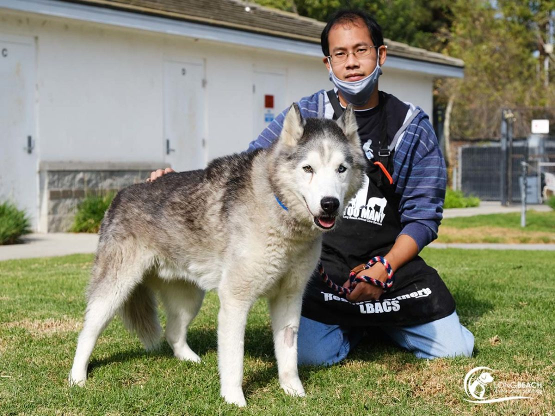light-colored Siberian husky stands next to man in apron and mask, sitting on the grass