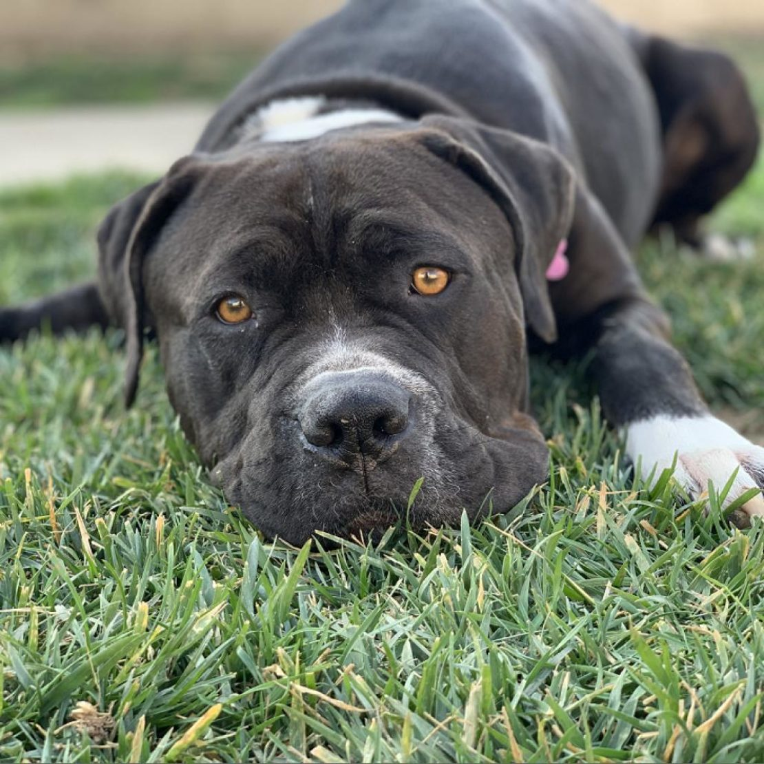 beautiful iron-gray pit bull with white paws and piercing golden eyes lies on grass