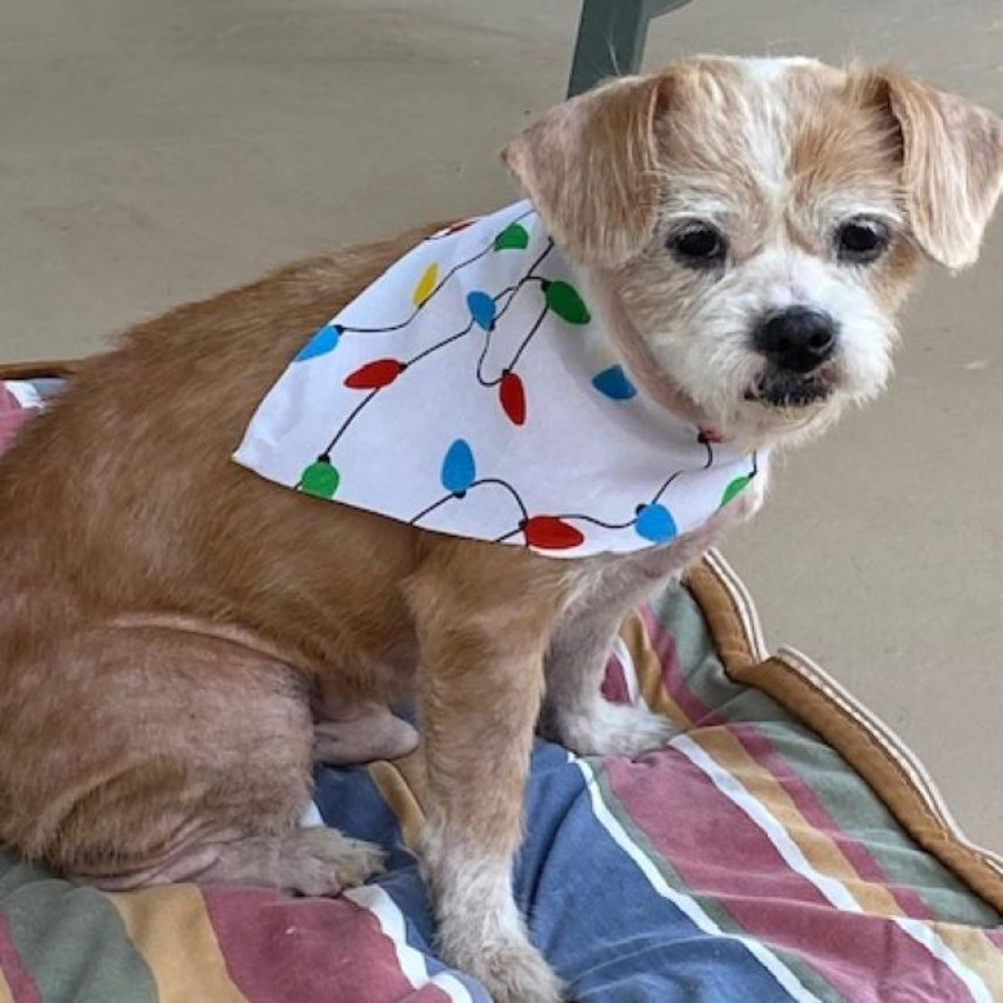 little tan dog with white muzzle and streak on head sits on a striped duvet. He wears a white scarf decorated with red and blue bulbs.