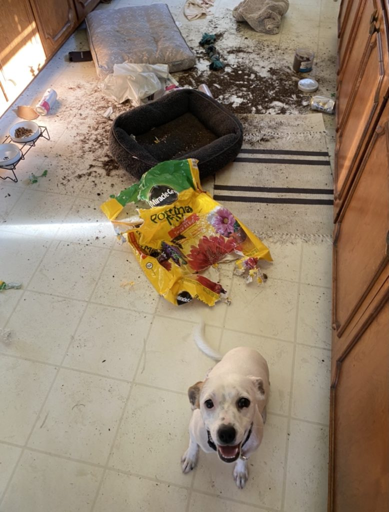 whie puppy stands in the foreground of the kitchen floor, seeminly delighted at the mess he's made--a spilled kibble bag, a shredded bed, everything.
