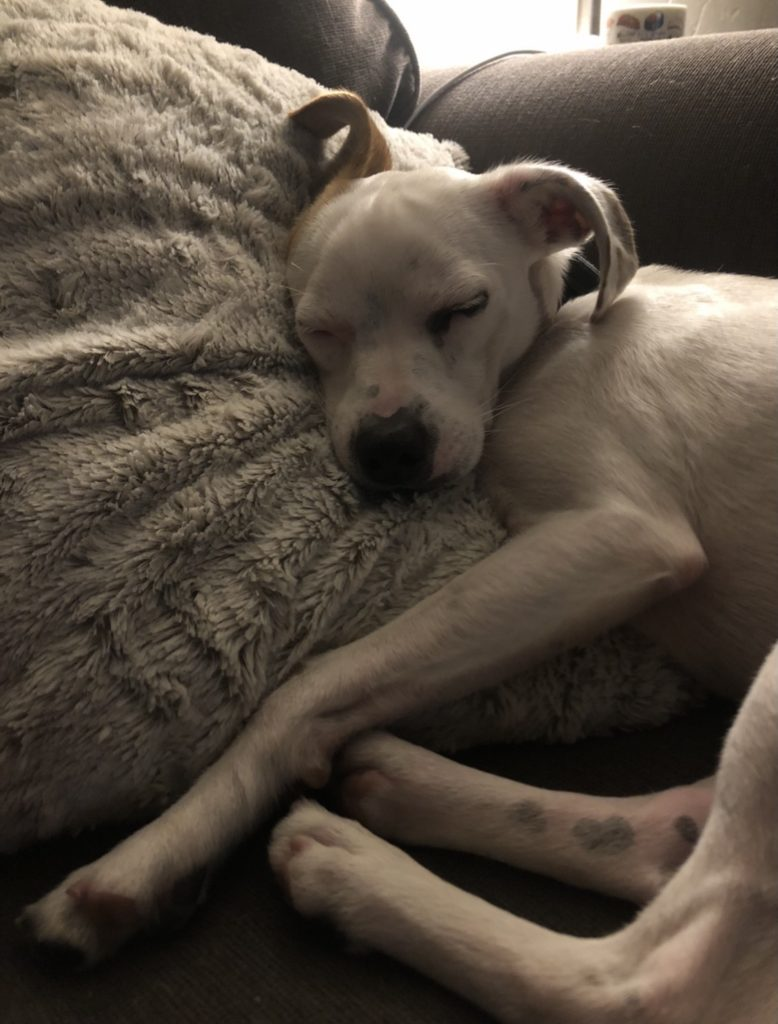 white puppy curled up fast asleep on a bed.