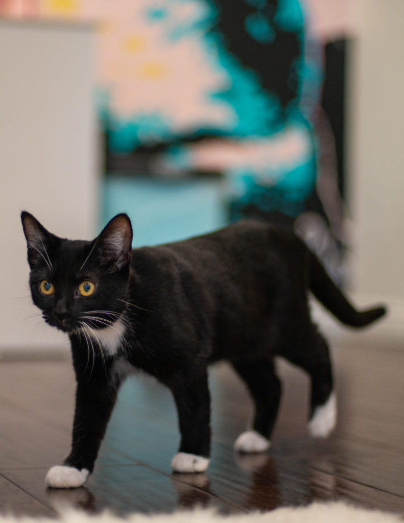 black cat with white chest and paws strolls across a wood floor with a colorful painting in the background.