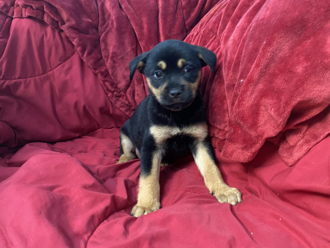 black puppy with tan legs, cheeks and eyebrows sits on red blanket.