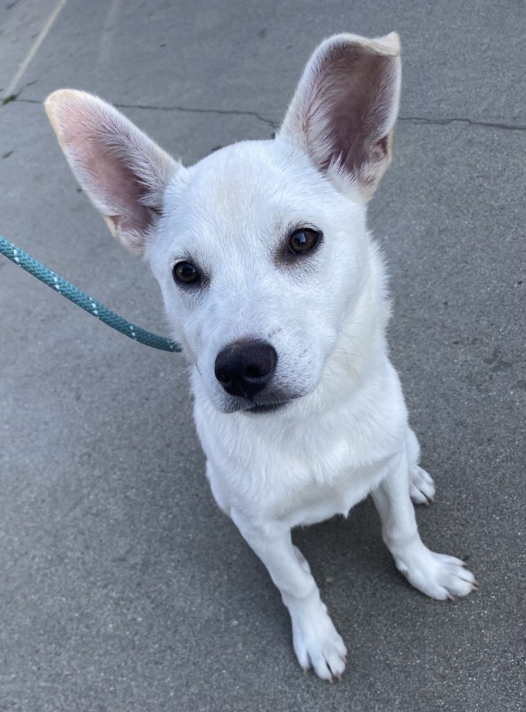 small white dog with huge ears stares into camera.