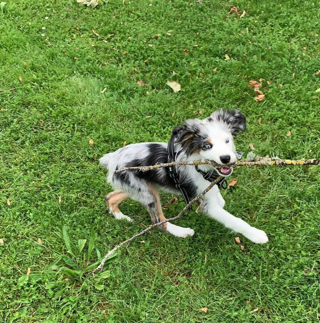 white puppy with black ears and back patches on the grass, tugging at a stick.