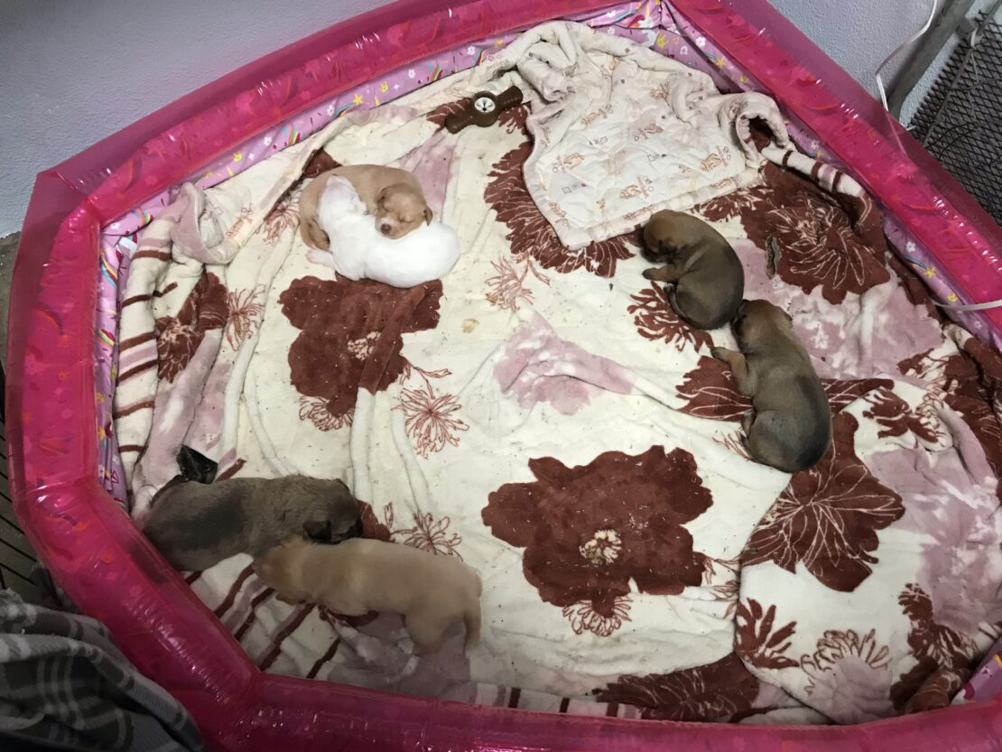 six puppies curled up in three groups on quilt