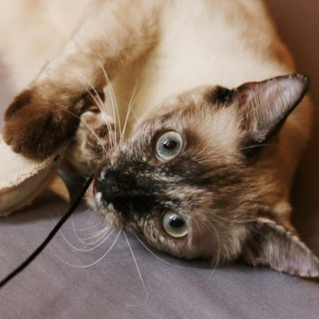 Sealpoint Siamese kitten lies seductively on side, playing with a toy and staring at the camera.