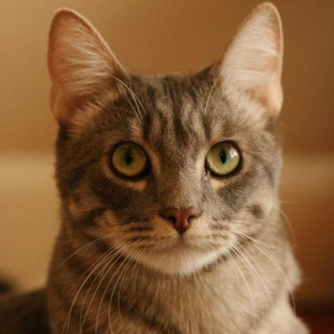 Gray tabby looks at camera, his eyes bright and staring upward.