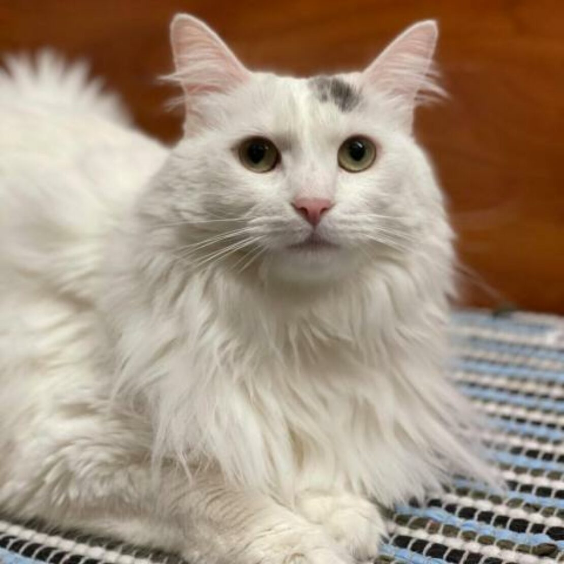fluffy, white cat meatloafs on a rug and looks at camera. She has a black smudge near her right ear.