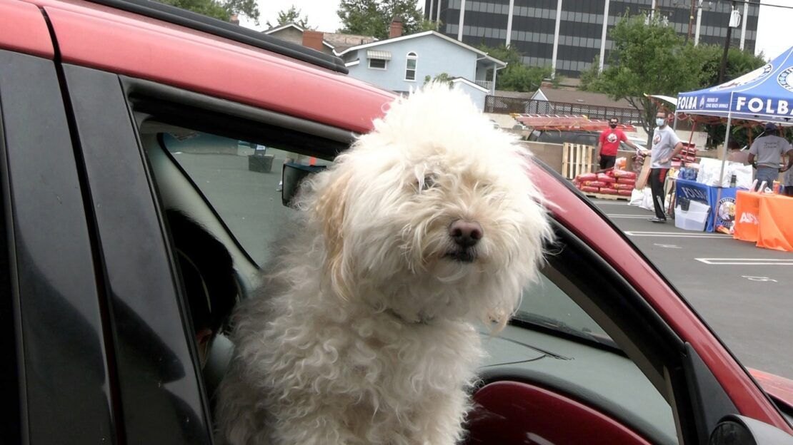 fluffy white dog looks out the window of red car. A popup is in background, with people surrounding it.
