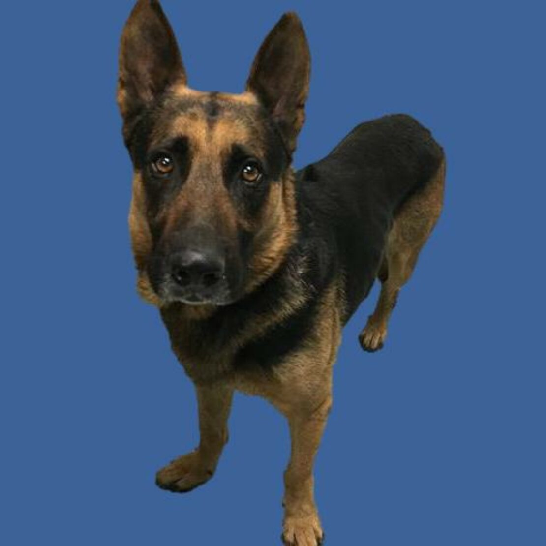 German shepherd with black ears, muzzle and back and with tan legs and face stands against a blue background.
