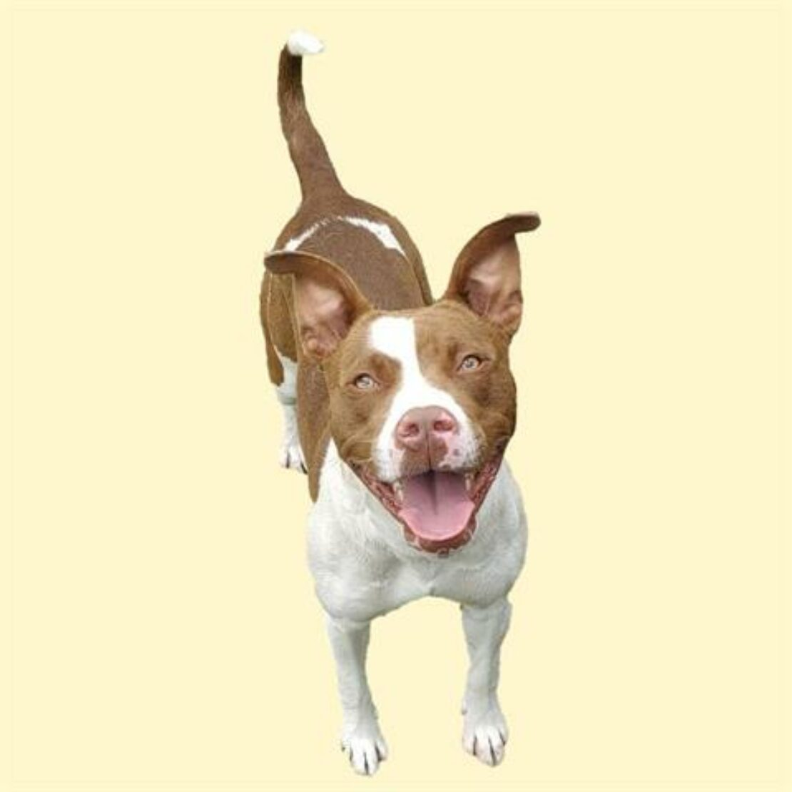 boxer/pittie mix with white muzzle, chest and legs and brown mask, ears, back and tail stands against a yellow backgrouns.
