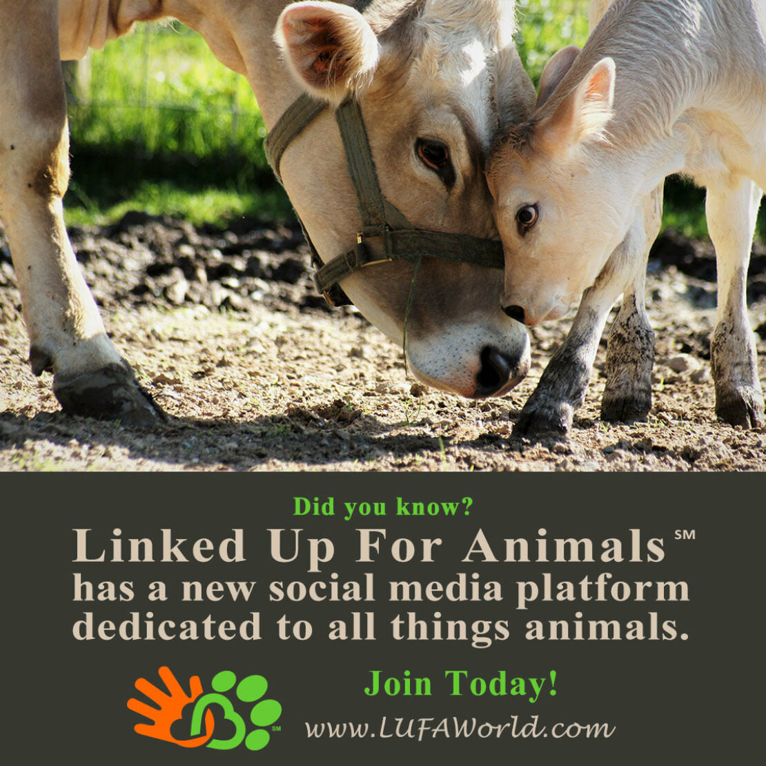 """two cows are rubbing their heads on a grassy area.  The text reads """"Connected for animals"""" has a new social media platform dedicated to all things animals.  Join today!  A small graphic of an orange hand tied to a green paw is next."""