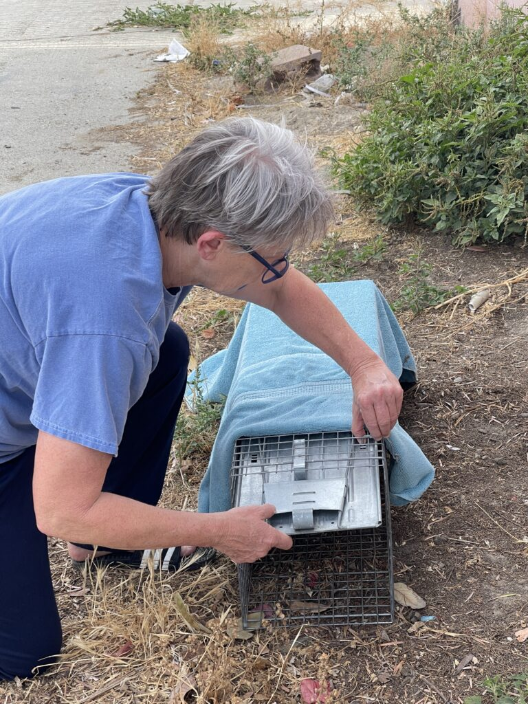 a light-haired woman with black rimmed glasses and dressed in a periwinkle shirt covers a small animal trap with a towel.  She is kneeling in an area of dirt and grass.