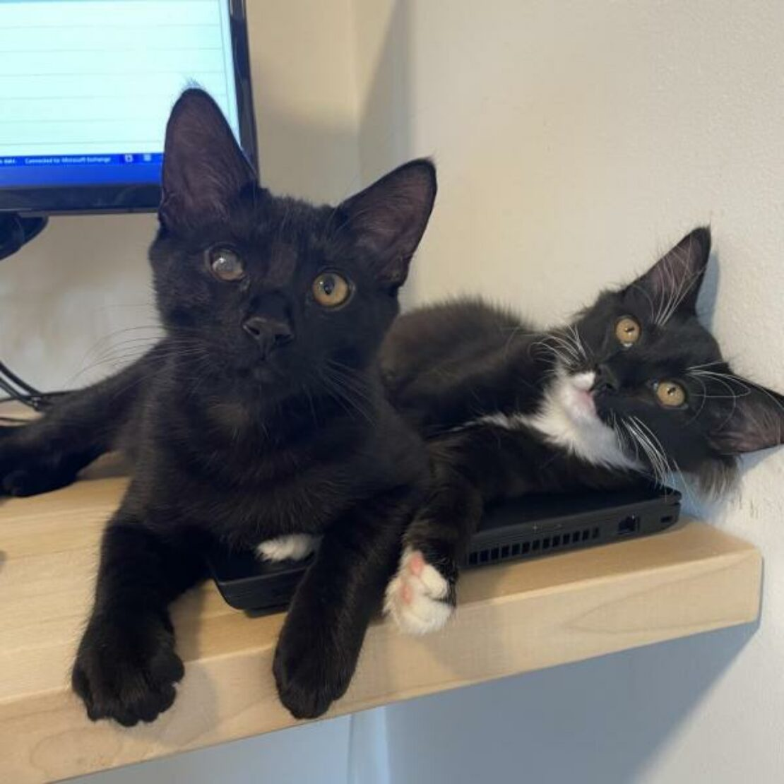 Black cat with cloudy left eye lounges on a tan board next to a mediumhair black cat with white paws, chin and chest.