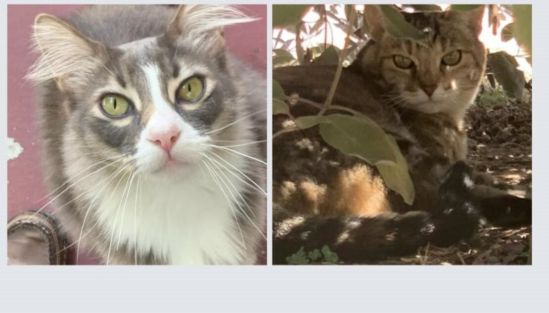 one panel shows a mediumhair gray cat with green eyes, white muzzle and chest, and pink nose looking at camera. The second shows a brown tabby with tortie highlights looking over his shoulder against a background of flowers