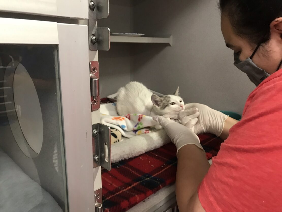 Woman in red shirt and rubber gloves nuzzles white cat with tabby ears