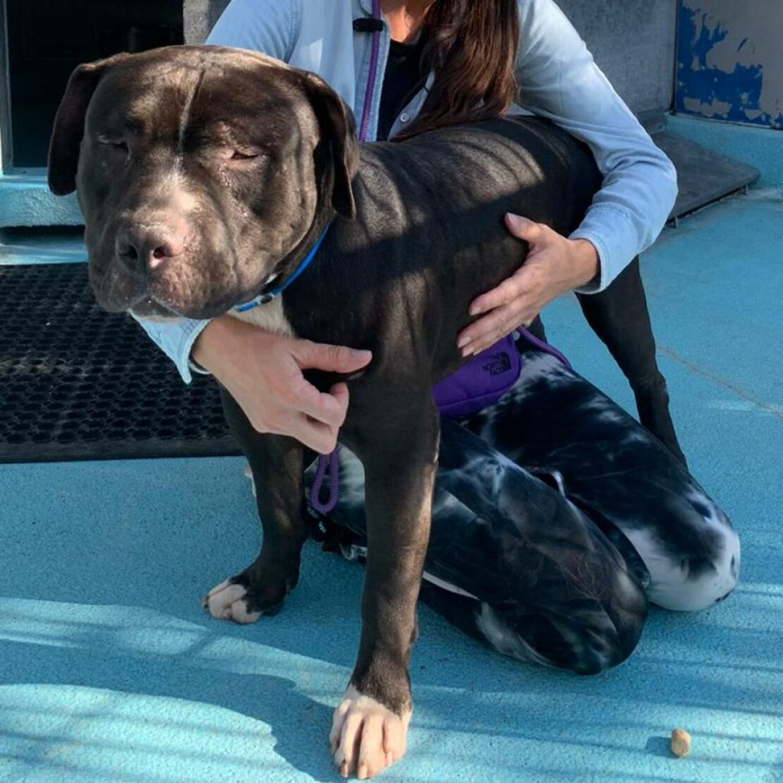 big black dog with white muzzle and paws stands with a person in a blue sweater on a blue ground. Dog is blind.