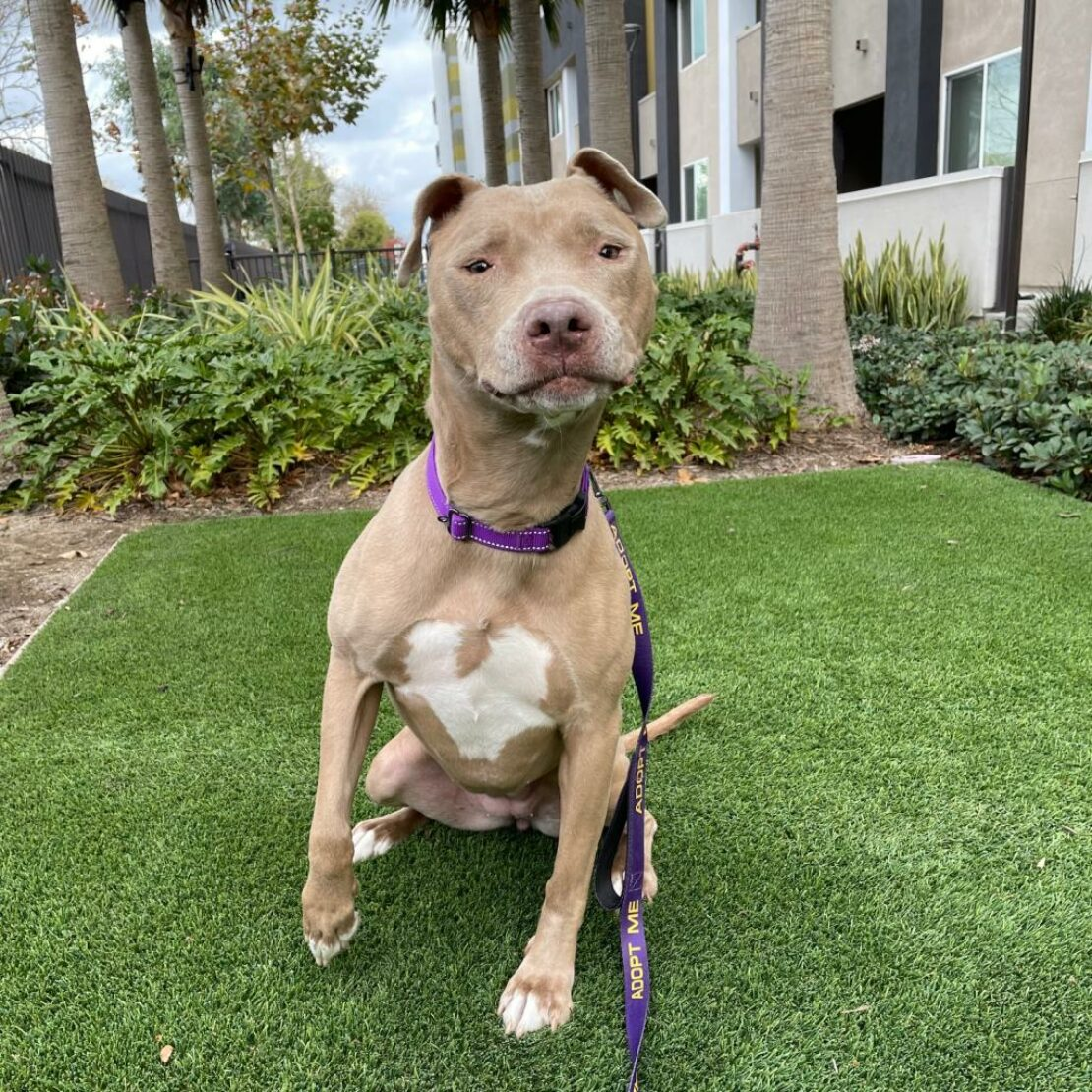 tan pit bull sitting up, one paw up, on grass