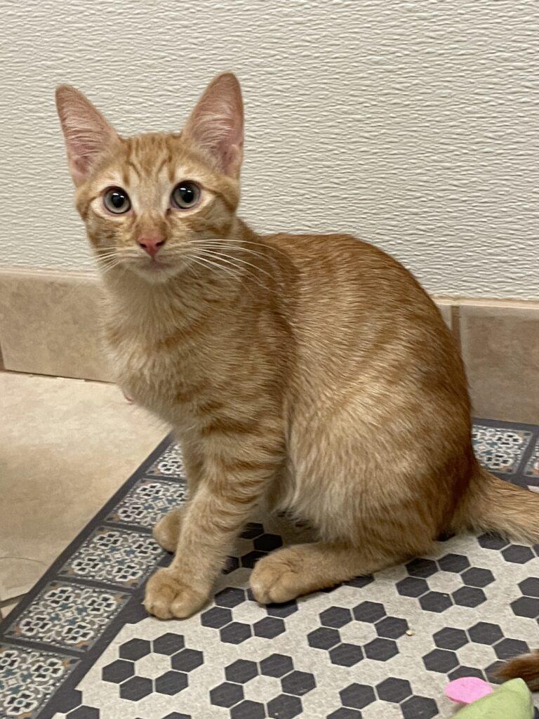 Orange cat sits tall on a black-and-white print rug