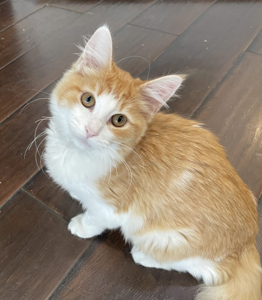 Small orange cat with a white mask, chest and legs sits tall on the floor and stares backward at camera
