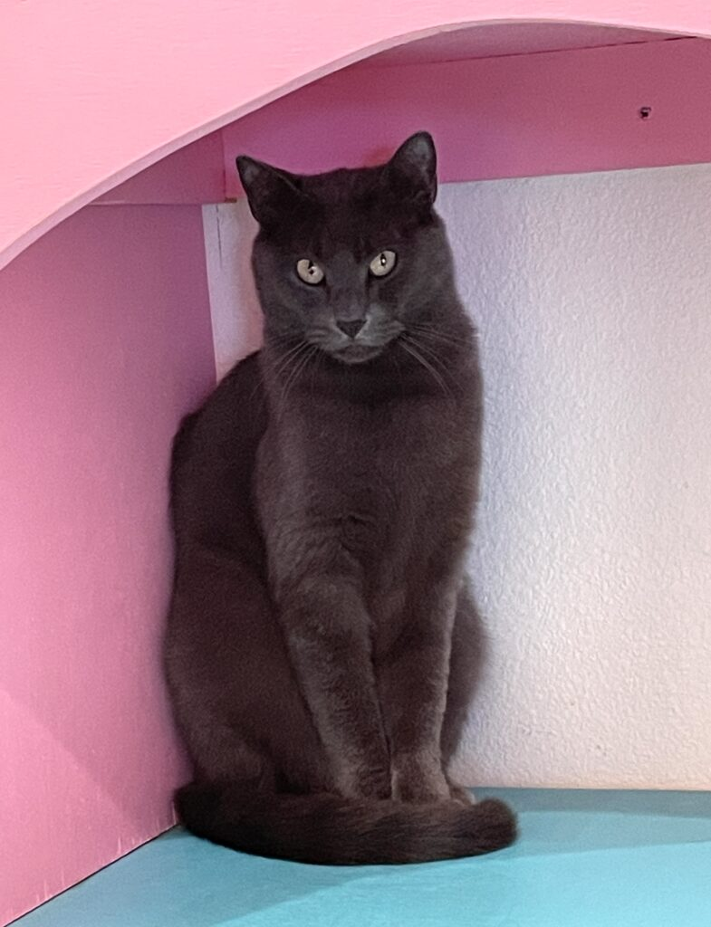 Stunning gray cat sits gaunt and tall staring at camera. He's in a pink-and-white enclosure.